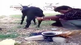 فیلم روش دوشیدن شیر با دست فیلم دوشیدن شیر از - کيونما